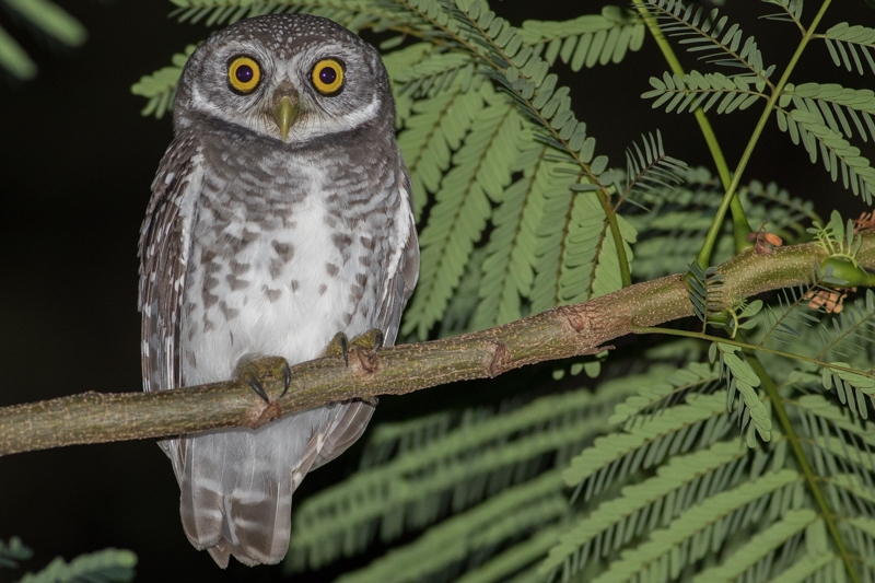 details spotted owlet birdguides