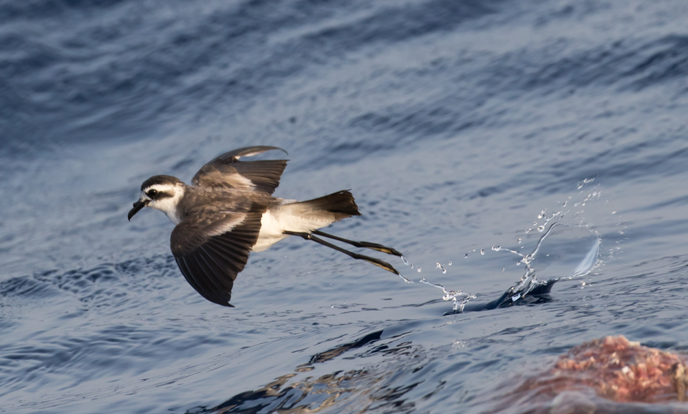 White-faced Storm Petrel (Dave Grant).