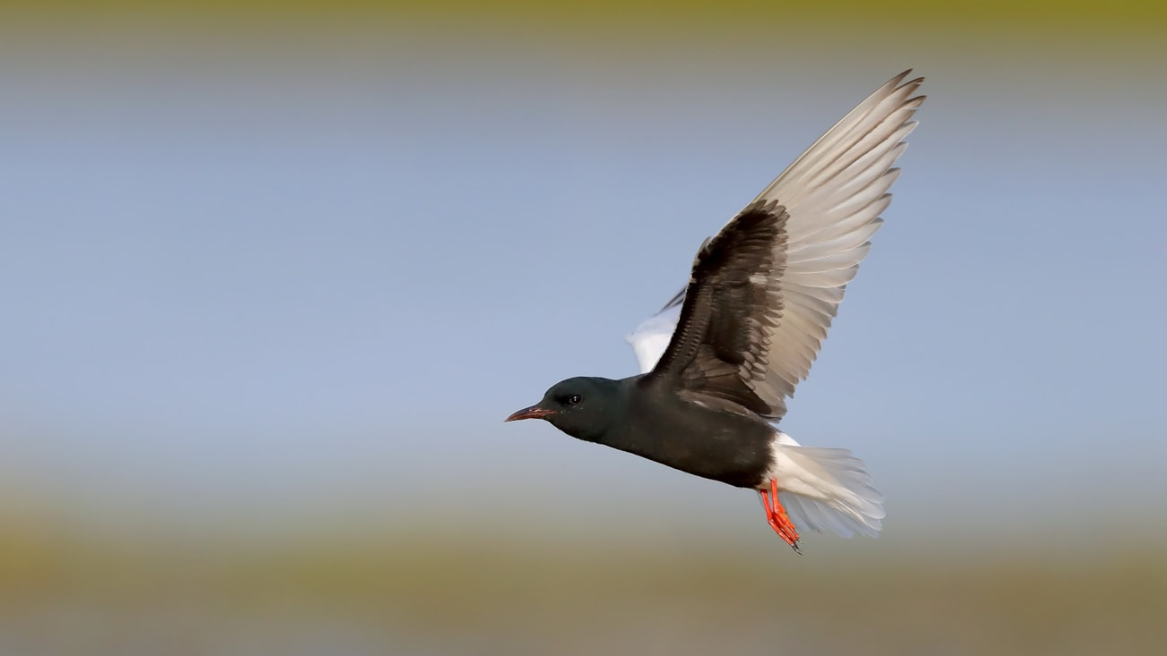 White-winged Tern by Kit Day