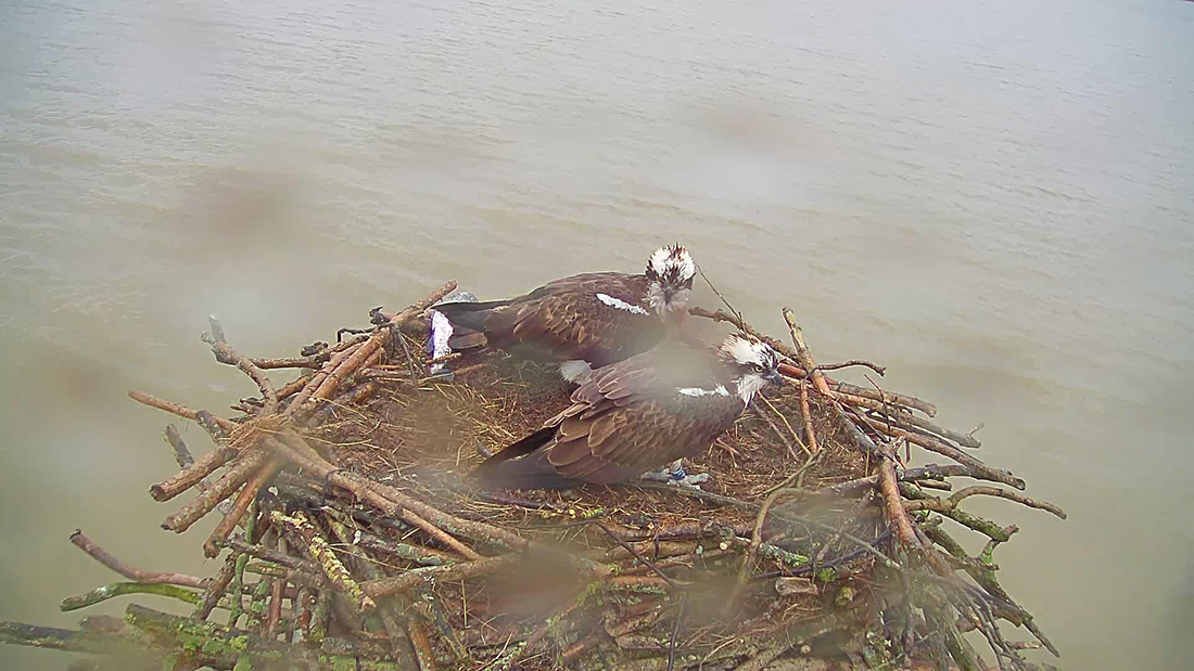 33(11) and Maya on the nest, taken from the webcam.