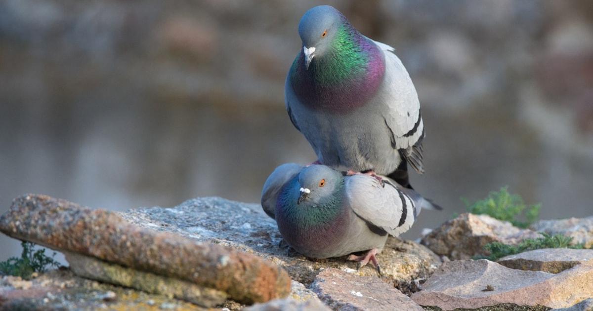 'Mass bird feeding' banned across Isle of Man capital
