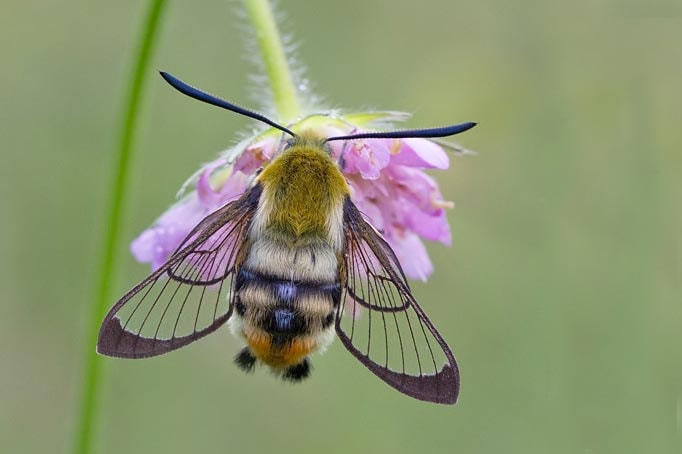 Moth returns to Brecon Beacons after 100-year absence