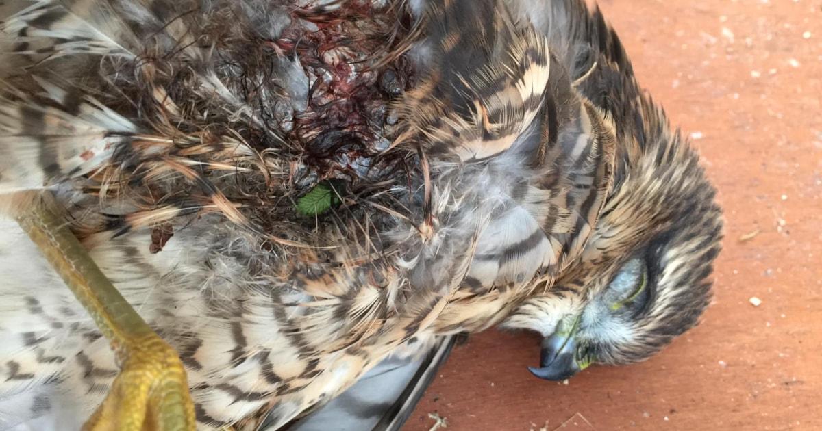 Eurasian Sparrowhawk shot on the Isle of Man