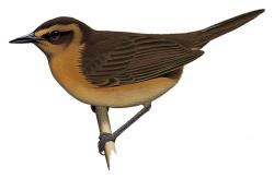 Bismarck Thicketbird hasn't been seen or heard by western scientists since 1959 (BirdLife International).