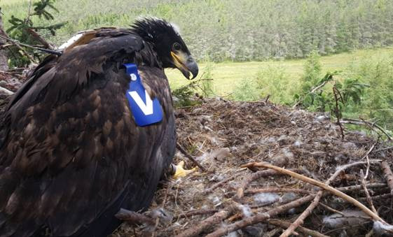 Female White-tailed Eagle chick Blue V has been tagged and fitted with a satellite transmitter. Photo by Owen Selly.