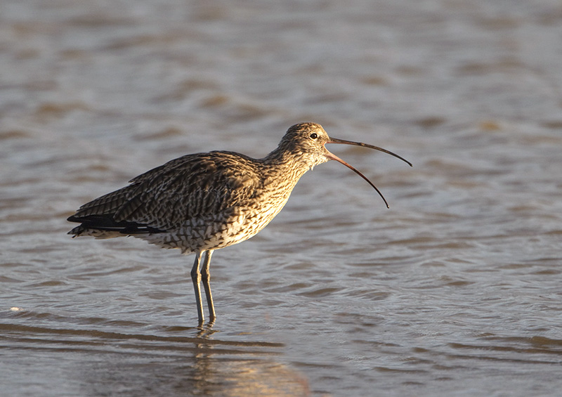 Eurasian Curlew has successfully fledged at a Co Antrim farm for the first time in 20 years. Photo courtesy of the RSPB.
