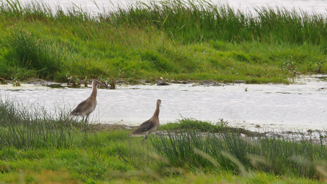 Black-tailed Godwits post-release (Bob Ellis WWT).