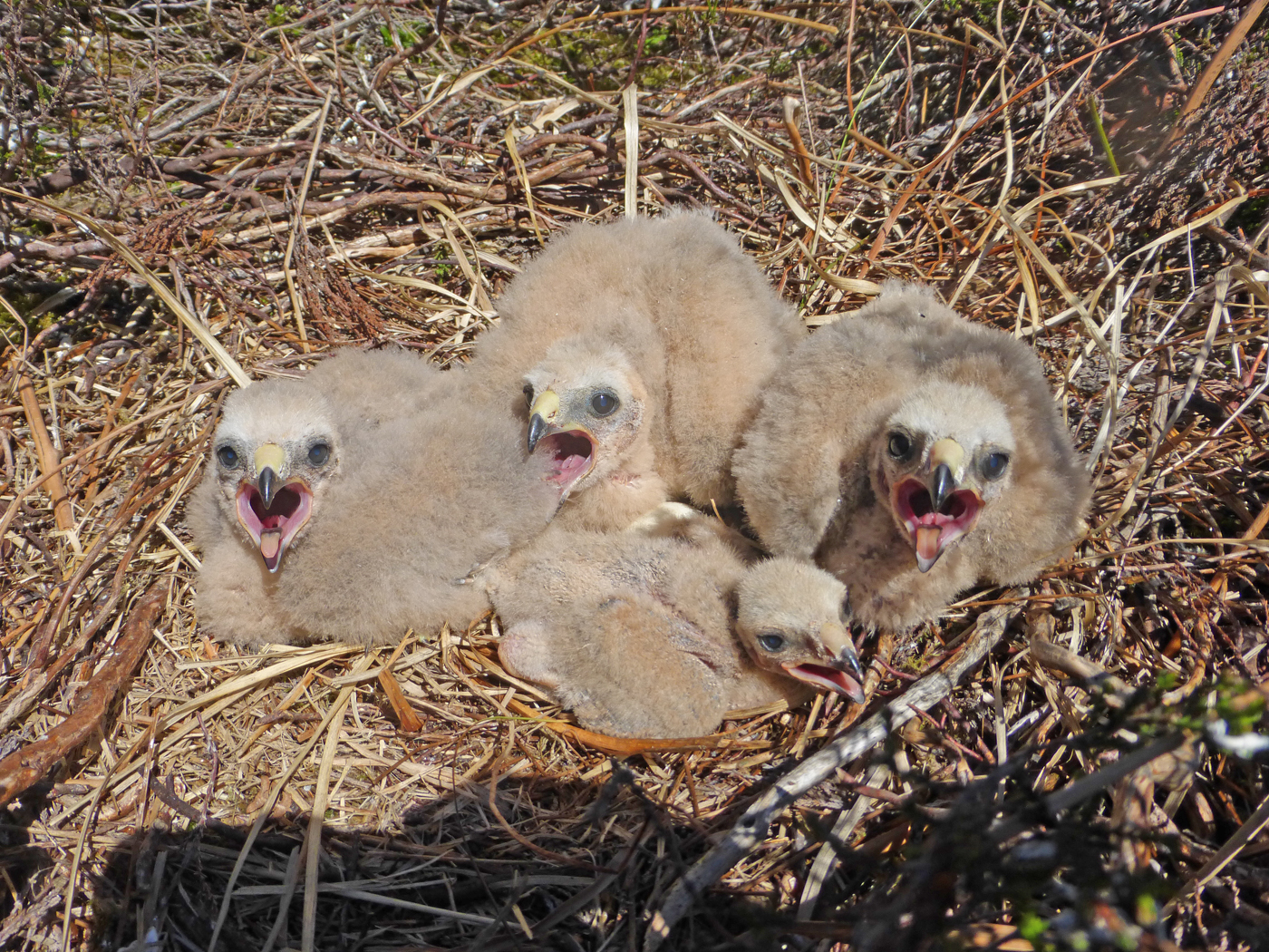 Chicks in one of this year's five nests in Northumberland, only three of which fledged birds. Photo: RSPB.