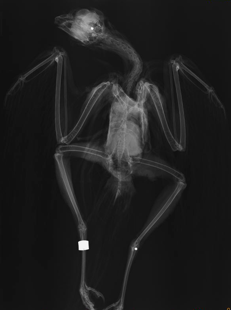 Radiograph of the Hen Harrier known as 'Carroll', showing two shotgun pellets. Photo: Zoological Society of London.