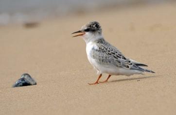 Little Tern fledgling. Photo: FabienneFossez (www.rspb-images.com).