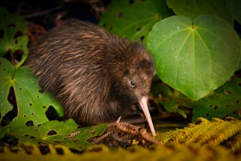 Northern Brown Kiwi had begun to recover after conservation efforts in New Zealand. Photo: Neil Robert Hutton