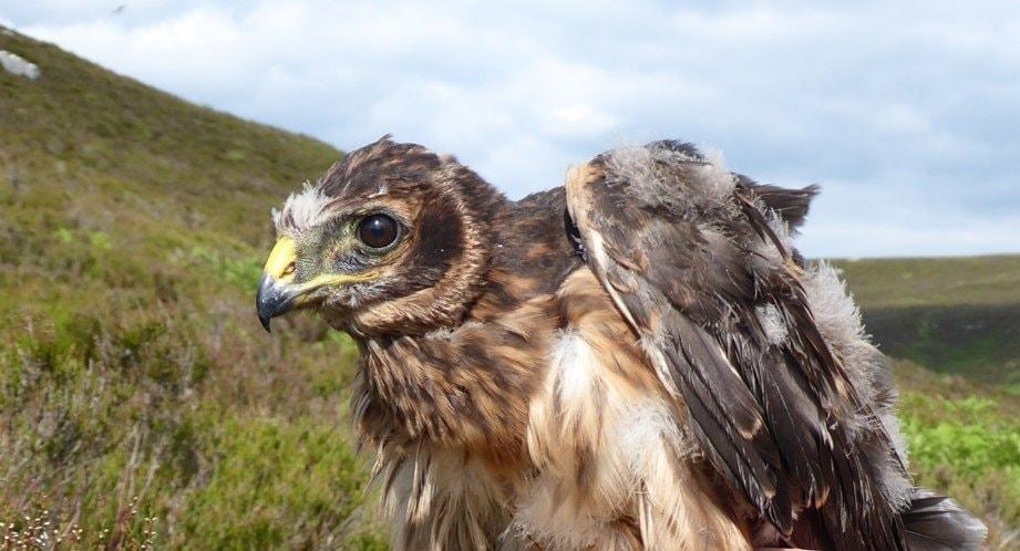 Hen Harrier breeding success in Northumberland