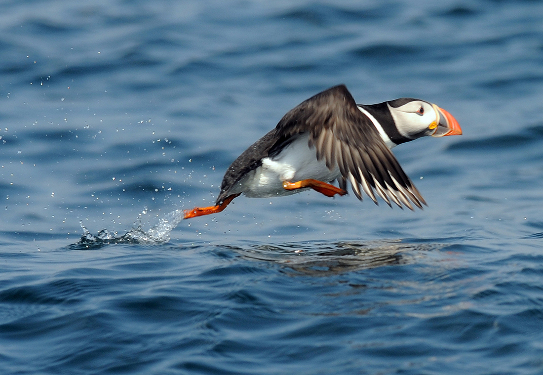 Puffin off Craigleith Island, North Berwick (Photo: Phil Wilkinson).