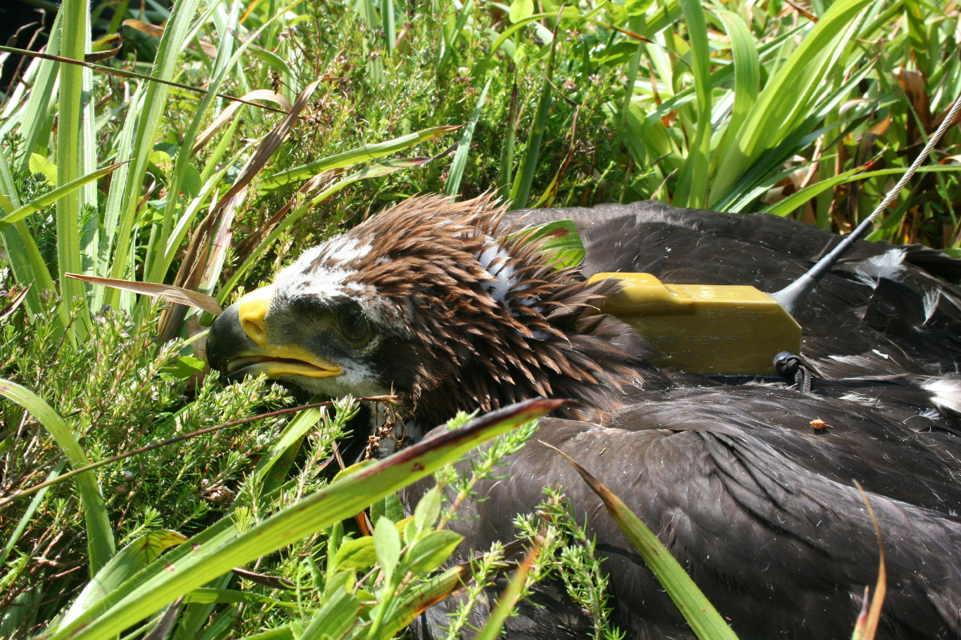 One of the RSPB's most recently tagged Golden Eagles; a suspiciously large proportion of these birds go missing on or near shooting estates. Photo: Duncan Orr-Ewing/RSPB.