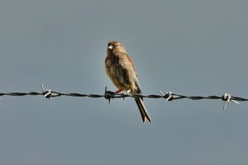 Twite No 20_UM CO Birdguides