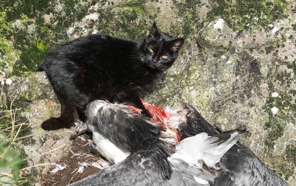 Feral cat filmed eating albatross