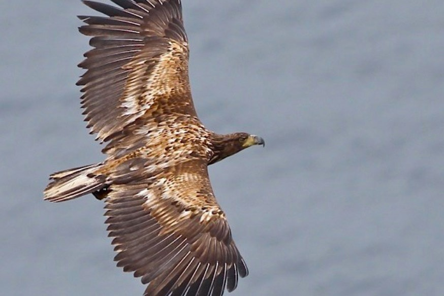 Reintroduced eagle settles in Oxfordshire