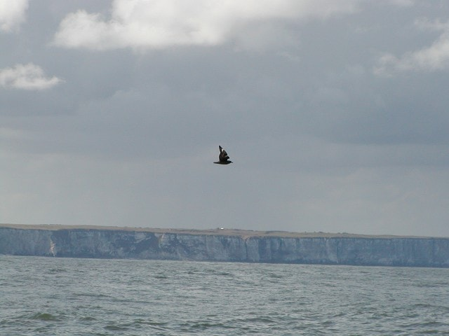 """Flamborough Head from the southeast seaward-side with <a href=""""/birdnews/species.asp?sp=60001"""">Great Skua</a> in the foreground"""