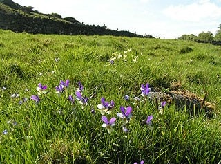 Mountain Pansy, Moor House NNR.