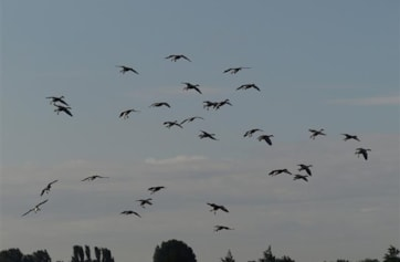 Greylag geese over Reedbed Lake.