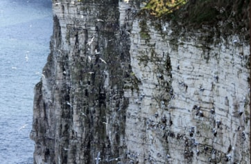 Gannet colony.