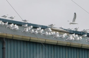 Gulls on fish factory roof.
