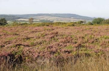 'South-western heath' in bloom, looking northeast to Mamhead