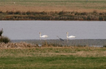 Part of Brough Airfield marsh with Grey Heron and Mute Swans.