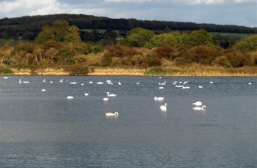 I counted more than 80 Mute Swans on Welton Water today.