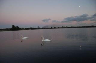 Mute swans at Longham lake at dusk