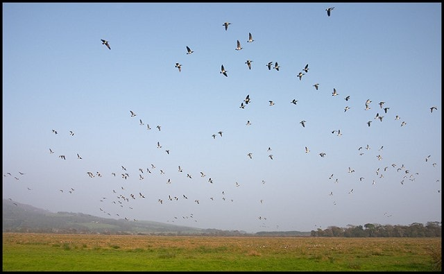Barnacle Geese over fields near the visitor centre. Canon EOS-1D Mark IIN with 17-40mm/f4L