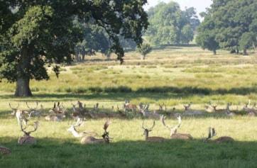 Parkland with veteran oaks and Fallow Deer, Powderham Park