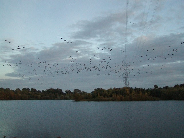 Greylags flying out at dusk.