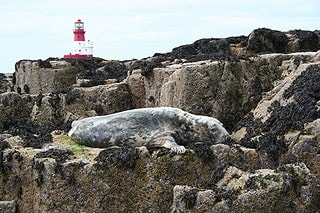 Atlantic Grey Seal and Longstone Lighthouse