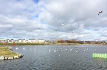 Tralee Bay Wetlands - a Ring-billed Gull hotspot.