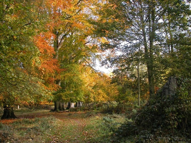 Autumn beeches near the southwest corner of Great Wood.