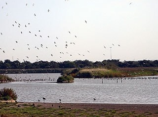 View from hide with Black-tailed Godwits flying in.
