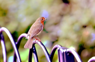 European Robin(Erithacus rub) The European robin, known simply as the robin or robin redbreast in the British Isles, is a small insectivorous passerine bird, specifically a chat, that was formerly classified as a member of the thrush. The male and fe