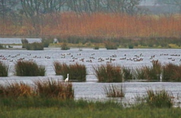 The well-flooded wetlands in winter, populated with wildfowl.