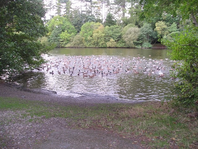 My husband brought me up here and I couldn't believe my eyes at the number of ducks here. They were all on the side of the lake as we approached but when they saw us they all scrambled into the water making an awful noise!! The quality of the photo i