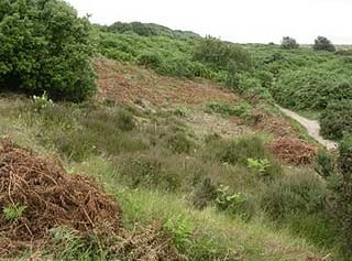 Southern part of Gunton Warren/Heath conservation area, note the cleared Bracken and heather in foreground.