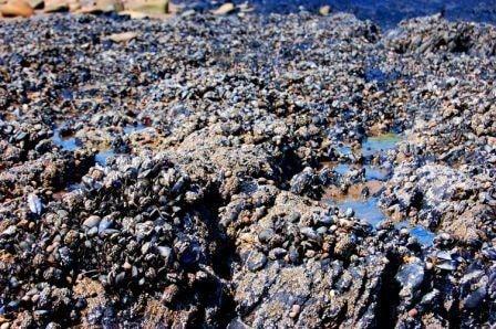 The beach is a mass of shells.