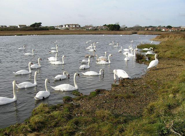 Wintering Mute Swans.