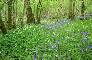 Bluebell and wild garlic.