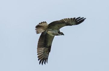 Osprey at Warnham.