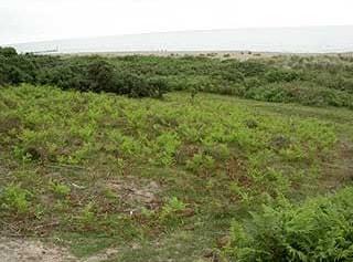 Northern part of Gunton Warren/Heath conservation area, note the cleared Bracken and heather plants growing.