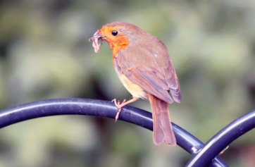 European Robin(Erithacus rub)