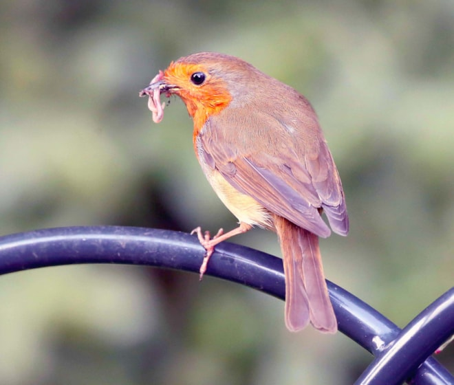 European Robin(Erithacus rub) The European robin, known simply as the robin or robin redbreast in the British Isles, is a small insectivorous passerine bird, specifically a chat, that was formerly classified as a member of the thrush. The male and f