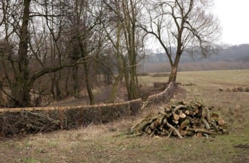 Winter hedging work to improve the habitat at the woodland edge