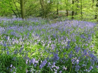 Bluebell woods early May